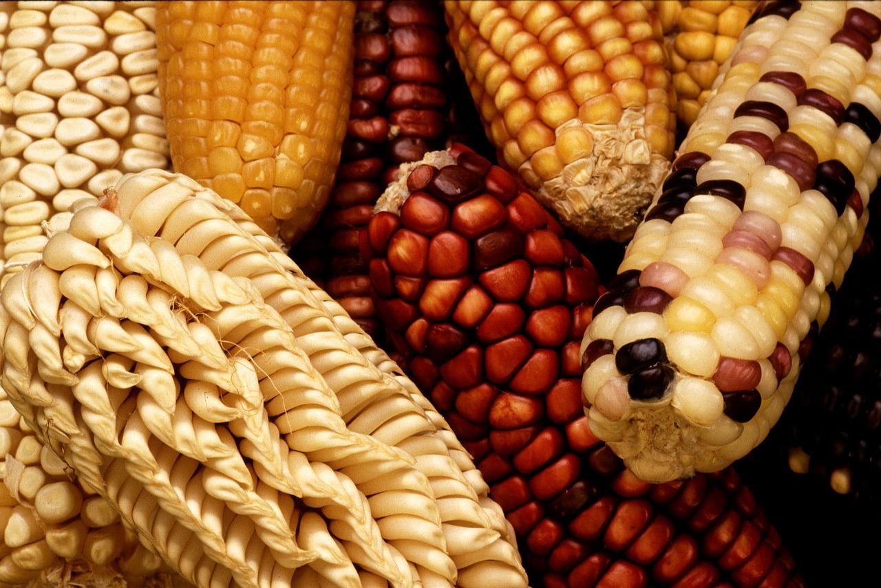 Gentechnik Maissorten