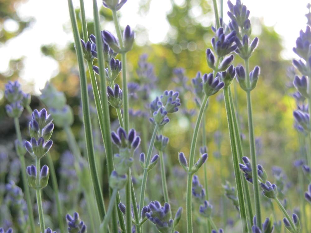 Glückstagebuch - der Duft von Lavendel