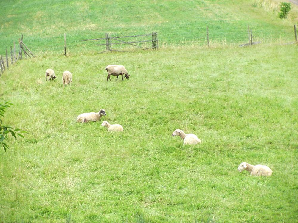 Ökologisch verreisen - Schafe